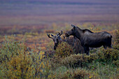 Young Bull Moose With Young Cow Moose Along The Dempster Highway, Yukon Canada