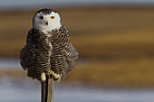 Snowy Owl Perched On Fence Post, Saskatchewan Canada