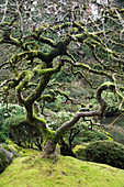 Oregon, Portland, Japanese Cultural Park and Gardens, Gnarled tree with foliage.