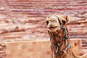 Portrait of camel, Petra, Jordan