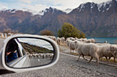A car stopped on the road as a flock of sheep being herded down the highway, Queenstown, New Zealand
