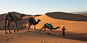 A man leads three camels across the Erg Chegaga Dunes, Morocco