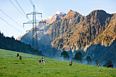Cattle grazing under electricity pylons, Kaprun, Salzburg, Austria