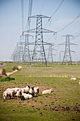 Flock of sheep gazing under electrical pylons, England, Great Britain