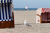 Herring Gull amidst beach chairs, Larus argentatus, Juist Island, North Sea, East Frisian Islands, East Frisia, Lower Saxony, Germany, Europe