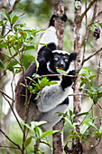 Indri eating leaves, Indri indri, rainforest, Andasibe Mantadia National Park, East-Madagascar, Madagascar, Africa