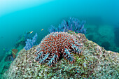 Crown-of-Thorns Starfish on Coral Reef, Acanthaster planci, Cabo Pulmo Marine National Park, Baja California Sur, Mexico