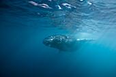Humpback Whale, Megaptera novaeangliae, San Benedicto, Revillagigedo Islands, Mexico