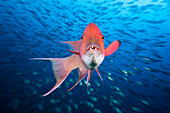 Mexican Hogfish, Bodianus diplotaenia, Socorro, Revillagigedo Islands, Mexico