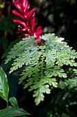 Farn und tropische Pflanzen im Brief Garden von Bevis Bawa bei Bentota, Südwestsküste Sri Lanka