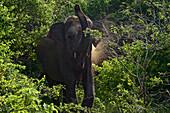 Charging Elephant in the Yala West National park, Southern Sri Lanka, South Asia