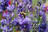 Honeybee on lavender blossom, Freiburg im Breisgau, Black Forest, Baden-Wuerttemberg, Germany