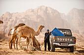 Dromedaries drinking, Wadi Rum, Jordan, Middle East