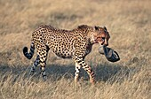 Cheetah, acinonyx jubatus, Adult wit Tourist´s Cap in its Mouth, Masai Mara Park in Kenya