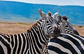Tanzania Africa Ngorongoro Conservation Area crater with reserve and close ups of zebras animals in wild safari