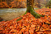 Beech trees in autumn colours in valley of Wuerm, valley of Wuerm, Starnberg, Upper Bavaria, Bavaria, Germany