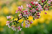 Malus floribunda, Wildapfel, Deutschland, Europa