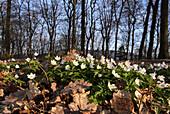 Frühling im Odenwald, Anemonen am Waldboden, Deutschland, Europa