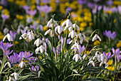 Galanthus, snowdrops, Germany, Europe