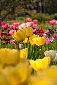 Tulpenbeet im Hermannshof, Weinheim, Baden-Württemberg, Deutschland, Europa