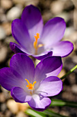 Crocus in blossom, Germany, Europe
