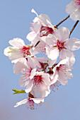 Echte Süßmandel, Prunus dulcis Rosa Nr.10, Deutschland, Europa