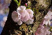 Japanische Zierkirsche, Prunus serrulata, Deutschland, Europa