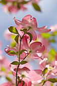Östlicher Blumen Hartriegel, Cornus florida f. rubra, Deutschland, Europa