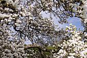 Tulpen-Magnolie, Magnolia x soulangeana, Magnolie, Deutschland, Europa