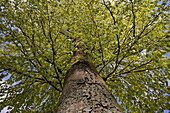 Sprouting leaves of beech tree, Odenwald, Germany, Europe