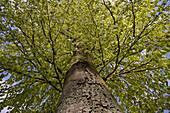 Austreibende Blätter an einer Buche im Odenwald, Deutschland, Europa