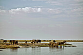 Elephants on the banks of the Chobe River, Botswana, Africa