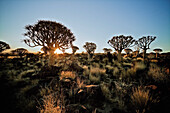 Quiver trees outside of Keetmanshoop, Namibia, Africa