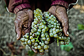 Hands of a black man carrying grapes, wine region near Stellenbosch, Western Cape, South Africa, Africa
