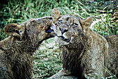 Two young lions licking and grooming each other on Duba Island, Okavango Delta, Botswana, Africa