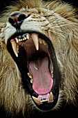 Yawning lion, Sabi Sands Game Reserve, South Africa, Africa