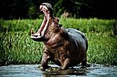 Hippopotamus with threatening grunt on the banks of the white nile, Murchison Falls National Park, Uganda, Africa