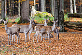 Red deer, animal enclosures, Neuschoenau in the National Park Centre Lusen, Bavarian Forest National Park, Bavaria, Germany