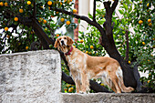 Dog on wall underneath Pomerance tree, Nafplio, Nauplia, Peloponnese, Greece