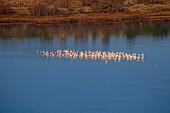 Waterfowl on the Étang de Bages et de Sigean, Bages, Dept. Aude, Languedoc-Roussillon, France, Europe