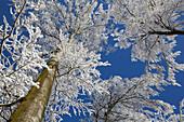 Frost in a beech wood, Germany