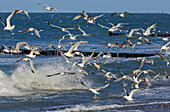 Seagulls in the surf, Baltic sea coast near Boergerende, Mecklenburg-Vorpomerania, Germany