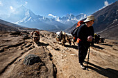 A trekker in Nepal looks over his shoulder at the approaching yak train Solukhumbu Region, Nepal
