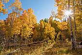 Yellow aspen trees and sunburst in a meadow near Lake Tahoe in California, tahoe city, ca, usa