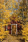A red mountain cabin and yellow fall aspen trees in Truckee in California, truckee, ca, usa