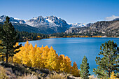 Yellow fall aspen trees with snowy mountians and June Lake in the Sierra mountains of California, ca, usa