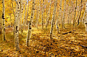 Yellow aspen trees in the fall in the Sierra mountains of California, ca, usa