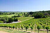A gorgeous spring day at a vineyard in the Dry Creek wine country near Healdsburg, CA., Healdsburg, California, USA