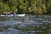 Kayakers with a dolphin, South Island, New Zealand