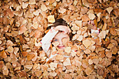 Caucasian girl laying in autumn leaves, Provo, Utah, USA